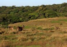 Sambar deers in Horton Plains National Park Stock Image
