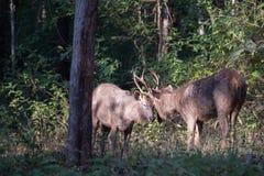 Sambar deers lock horns Stock Photo