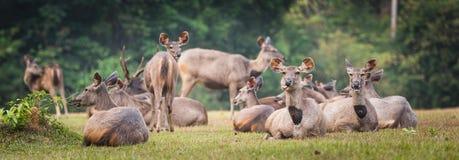 Sambar deers. Panorama Stock Image
