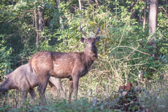 Sambar deers profile Royalty Free Stock Photography