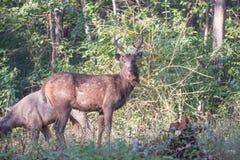 Sambar deers profile Royalty Free Stock Photography