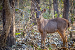 Sambar faun. Canon 6D 450mm ISO 800 1/400 f5.6 Sambar deer faun sighted in western ghats forest of India Stock Image