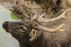 Sambar going to drink water from pond Royalty Free Stock Photography