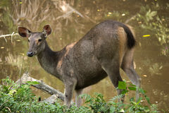 Sambar in het nationale park van Khao Yai Stock Fotografie