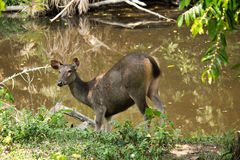 Sambar i den Khao Yai nationalparken Arkivfoton