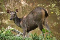 Sambar i den Khao Yai nationalparken Arkivbild