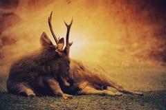 Sambar jeleni lying on the beach na pustkowia polu Fotografia Royalty Free
