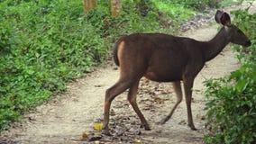 Sambar jeleniego rusa unicolor pasanie w lesie w Chitwan parku narodowym w Nepal zbiory wideo