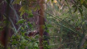 Sambar jeleniego rusa unicolor pasanie w lesie w Chitwan parku narodowym w Nepal zbiory