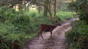Sambar jeleniego rusa unicolor pasanie w lesie w Chitwan parku narodowym w Nepal zdjęcie wideo