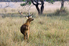 Sambar. In the Kanha National park in India Royalty Free Stock Photography