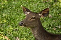 Sambar in Khao Yai national park. Sambar stay in Khao Yai Royalty Free Stock Image