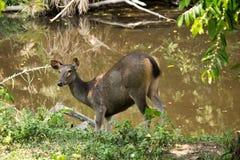 Sambar in Khao Yai national park. Sambar stay near brook in Khao Yai Stock Photos