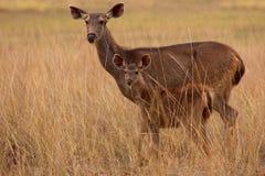 Sambar mother & child Stock Photo