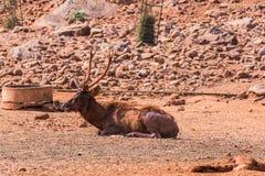 Sambar rogacz malował z borowinowym & odpoczywać na polu w słonecznym dniu w zoo obraz royalty free