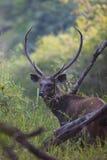 Sambar-Rotwild Stockbild