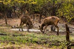 Sambar-Rotwild, die mit großen Hörnern spielen lizenzfreies stockbild
