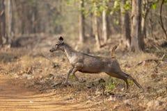 Sambar-Rotwild, die springen, um die Straße am Touristen an Tadoba-Tiger-Reserve Maharashtra, Indien zu kreuzen stockbilder