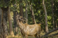 Sambar selvaggio Buck Browsing ad un albero fotografia stock libera da diritti