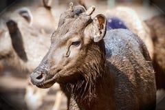 Sambarherten bij Trissur-Dierentuin KERALA stock fotografie