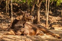 Sambarherten in het park in Tiger Temple, Thailand Stock Foto