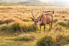 Sambarherten in wildernis Royalty-vrije Stock Afbeelding