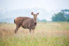 Sambarhjortar i ängskog på den Khao Yai nationalparken, Thailan Arkivfoton