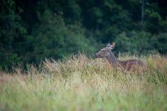 Sambarhjortar i ängskog på den Khao Yai nationalparken, Thailan Arkivbilder