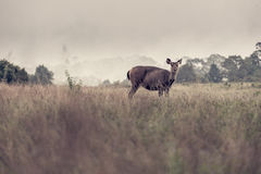 Sambarhjortar i ängskog på den Khao Yai nationalparken, Thailan Royaltyfri Fotografi