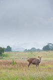 Sambarhjortar i ängskog på den Khao Yai nationalparken, Thailan Royaltyfri Foto