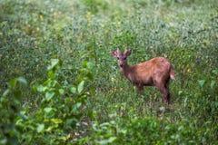 Sambarhjortar i skog på den Khao Yai nationalparken Royaltyfria Bilder