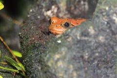 Sambava tomato frog Stock Image