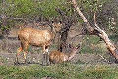 Sambhar deer fawns Royalty Free Stock Images