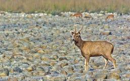 Sambhar Deer Royalty Free Stock Photo