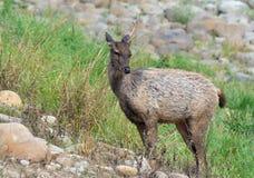 Sambhar Deer Royalty Free Stock Photography