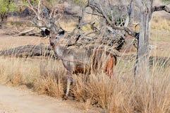 Sambhar Deer. Portrait of sambhar deer at dry deciduous forest of India Stock Images
