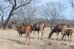 Sambhar Deers. Grazing at dry deciduous forest of India Royalty Free Stock Image