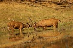Sambhar jeleń w próbnej walce, Rusa unicolor, Pench park narodowy Madhyapradesh, India obrazy royalty free