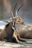 Sambianische Sable-Antilope Stockbilder