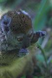 Sambirano lesser bamboo lemur Stock Photography