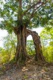 Sambor Prei Kuk Cambodia. A large tree grows over Pre-Angkorian temple ruins at Sambor Prei Kuk, Kampong Thom Province, Cambodia stock photography
