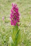 Sambucina van de orchidee Royalty-vrije Stock Foto
