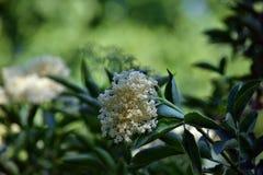 Sambuco di fioritura immagini stock