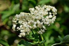 Sambuco di fioritura fotografie stock