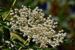 Sambuco di fioritura fotografie stock libere da diritti