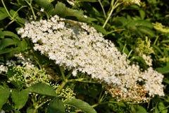 Sambuco di fioritura in giardino immagini stock