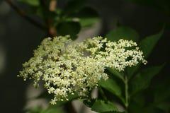 Sambucus, цветя старший elderberry в месяце мая стоковые фотографии rf