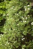Sambucus Image stock