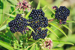 Sambucus Berries Stock Photos