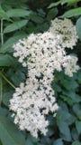 Sambucus blanc image stock